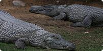 crocodiles-big.jpg